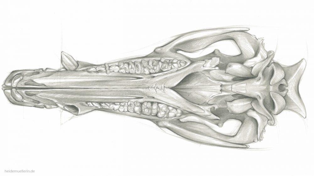 Element eines Wildschädels (Ansicht von unten) | Graphit auf Papier | 420 x 297 mm | 2017
