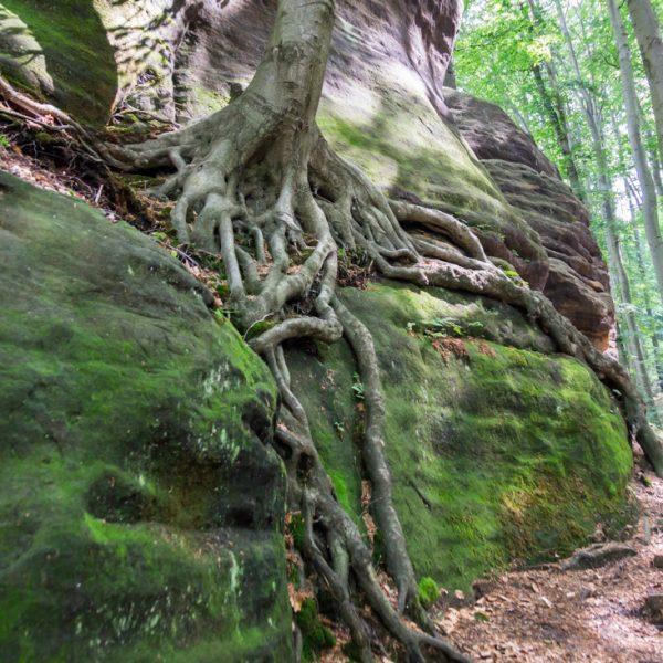 Aufstieg zum Großen Winterberg, Wurzel am Bergsteig