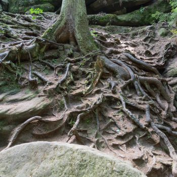 faszinierende Wurzel neben der Heringshöhle, Teufelsgrund und Teufelsschlüchte