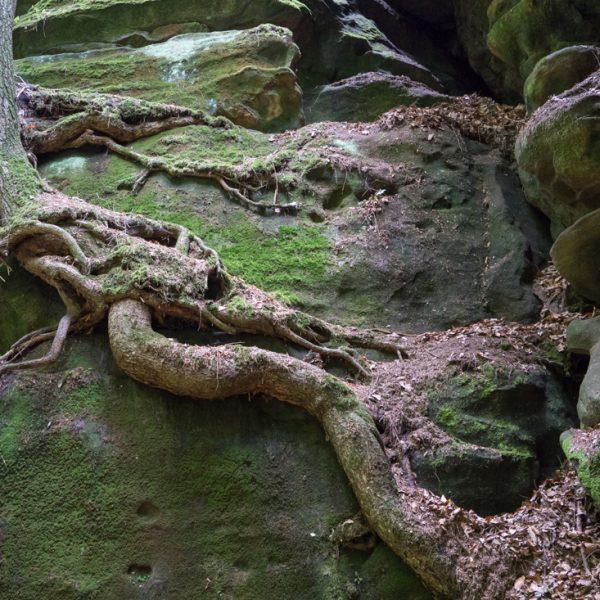 Wurzel an der Felswand im Uttewalder Grund