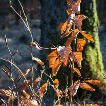 Blätter im Gegenlicht, Dresdner Heide