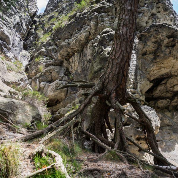 Baumwurzel am Fuße des Kletterfelsen Türkenkopf
