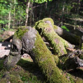 Wurzeln am Wegesrand, im Prießnitztal Dresdner Heide