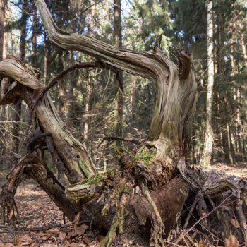 Altholz, Wurzel am Wegesrand der Kreuz Sechs, Dresdner Heide