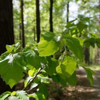Blätter am Wegesrand, Dresdner Heide