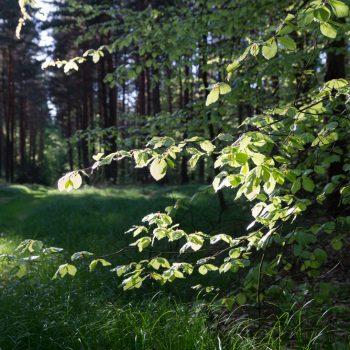 Blätter im Gegenlicht, Wanderweg Reichsapfel in der Dresdner Heide