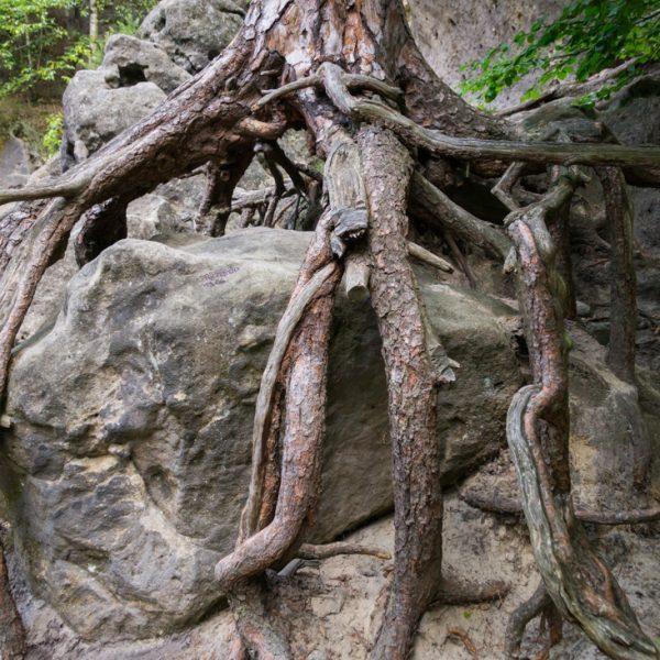 Wurzel am Fuße des Winterstein, Hinteres Raubschloss