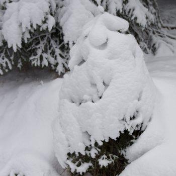Schneebedecktes Bäumchen, Dresdner Heide