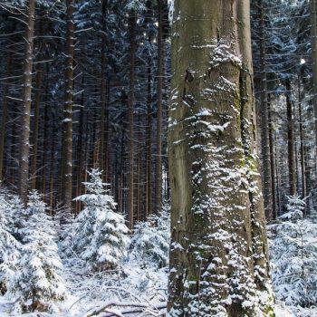 Baum am Weißiger Weg, Dresdner Heide