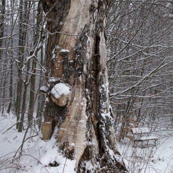 Alter Baum am Tanzzipfelweg in Ullersdorf, Dresdner Heide