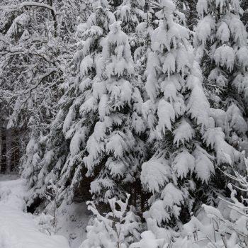 Schneebedeckte Bäume, Dresdner Heide
