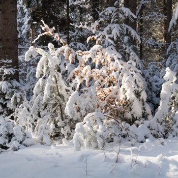 Verschneite Bäume in der Dresdner Heide
