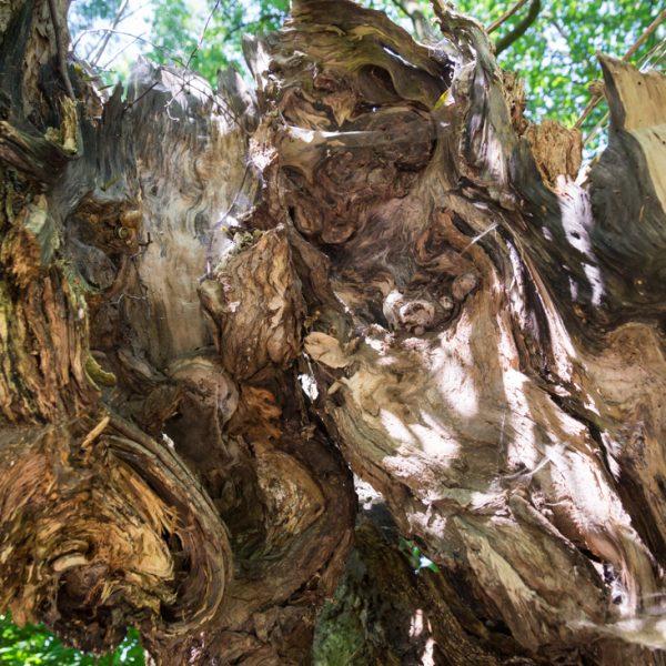 alter Baumstamm an der Straße, nahe der Zschonermühle