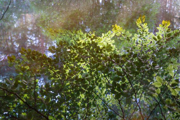 Spiegelung der grünen Blätter im Wasser