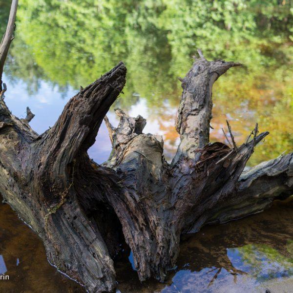 Wurzel und Spiegelung im See, Dresdner Heide