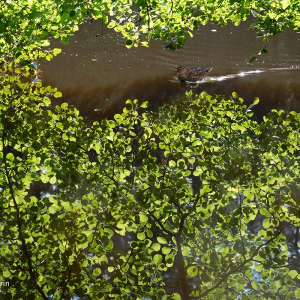 Spiegelung im Stausee, Dresdner Heide
