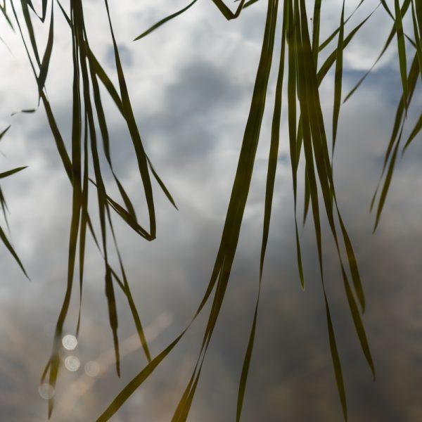 Spiegelung von Schilfblättern im Wasser