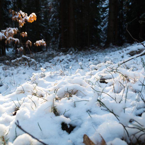 verschneite Gräser in der Dresdner Heide
